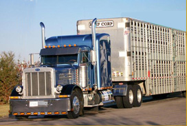 Cattle Trucking